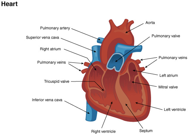 Medford school district life science cardiovascular system ccuart