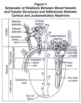 Academic onefile document renal anatomy and overview of nephron the passage of urine these substances include the end products of metabolism such as urea creatinine uric acid drugs and foreign chemicals ccuart Images