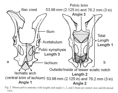Academic Onefile Document Using Pelvis Morphology To Identify
