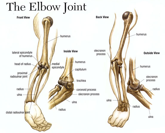 Academic Onefile Document The Elbow Joint Anatomy Two Common