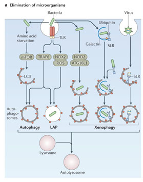 Gale Academic OneFile - Document - Autophagy in infection