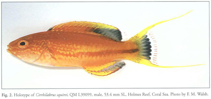 Academic OneFile - Document - Cirrhilabrus squirei, a new wrasse