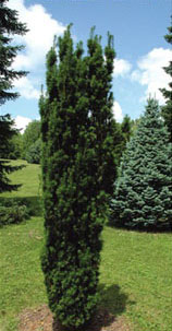 What are examples of conifers?