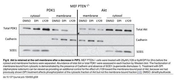 pdk1 academic onefile document non canonical activation of akt in