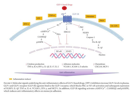 Academic OneFile - Document - Anti-Inflammatory Effects of GLP-1