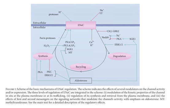 Academic OneFile - Document - The Epithelial Sodium Channel and the