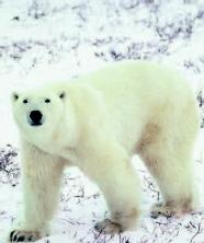 A polar bears white fur converts more than 95 percent of the suns ultraviolet rays into heat.
