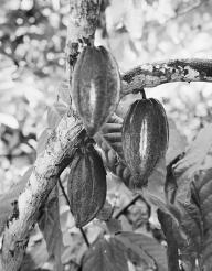 A cacao tree with beans.  Robert van der Hilst/Corbis.