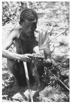 The !Kung hunter Gumtsa digs up a plant for food. The !Kung peoples live in the Ngamiland District of Botswana. Their primitive lifestyle and simple foodways are of great interest to anthropologists. © PETER JOHNSON/CORBIS.