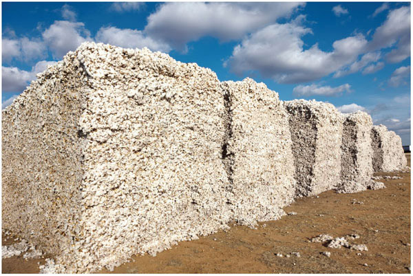 The United States is a global leader in cotton production. This photo shows cotton stored in modules, awaiting ginning, which separates the cotton fibers from the seeds.