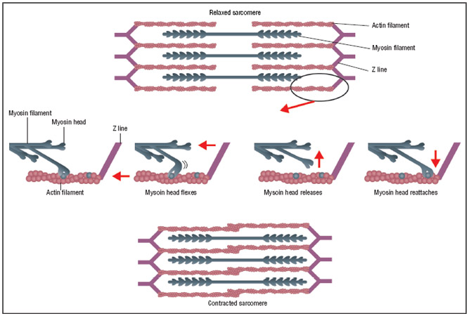 how a muscle contracts Review of the process in skeletal muscle: skeletal muscle has a well-defined system for producing excitation of the skeletal muscle cells an alpha-motoneuron.