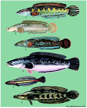 1. Orange-spotted snakehead (Channa aurantimaculata); 2. Walking snakehead (Channa orientalis); 3. Rainbow snakehead (Channa bleheri); 4. Giant snakehead (Channa micropeltes); 5. Giant snakehead (Channa micropeltes) juvenile; 6. African snakehead (Parachanna obscura). (Illustration by Michelle Meneghini)