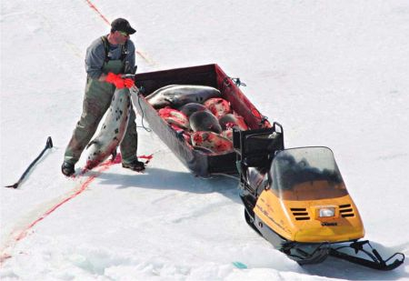 Although the Canadian government says that most seals are killed quickly and humanely, animal rights groups say that during a seal hunt, young seals scream in fear as hunters club nearby animals, and many are skinned while still alive.