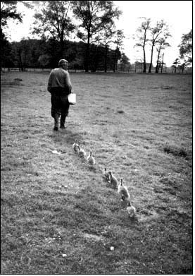 Animal behaviorist Konrad Lorenz is followed by a line of goslings. (Hulton ArchiveGetty Images)