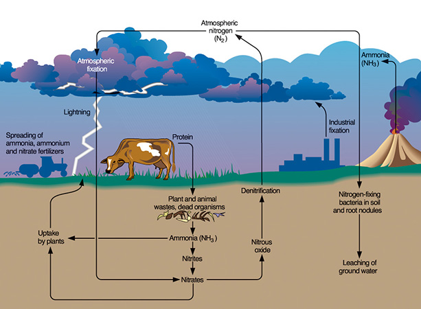 Nitrogen cycle - Wikipedia