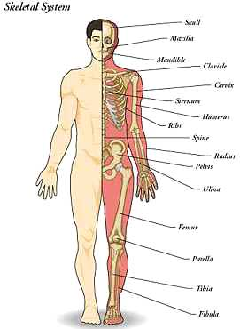 skeletal system - science in context, Skeleton