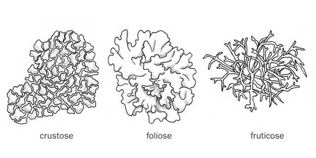 Diagram Of Foliose Lichens Ecology Labels Identify Lichen ...
