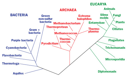 phylogenetic analysis of thermophilic bacteria Thermophilic bacteria grow in relatively high temperature between 50 to 60°c these organisms can produce specific enzymes that have been used in industrial and.