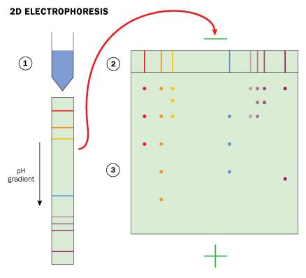 2d gel electrophoresis essay The principle of 2d gel electrophoresis/and the isoelectric point biomedical and biological sciences loading unsubscribe from biomedical and biological sciences.