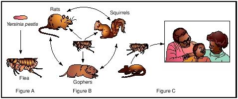 بیماری طاعون کک موش راسو روباه خرگوش