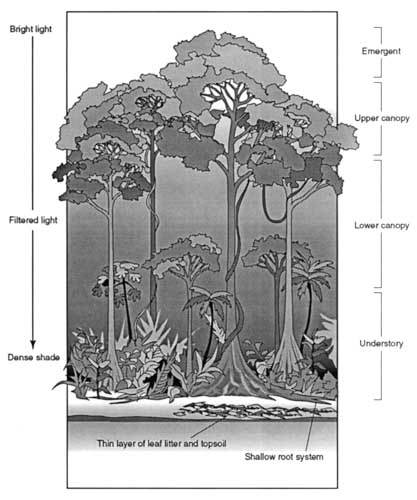 This illustration shows the four layers of the rain forest,