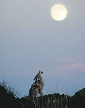 Tales about the Coyote, the trickster, were popular among the Shoshone.