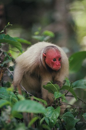 """The red uakari monkey is found in the Amazon rain forest region of South America and is considered a """"near threatened"""" species by animal conservation groups."""