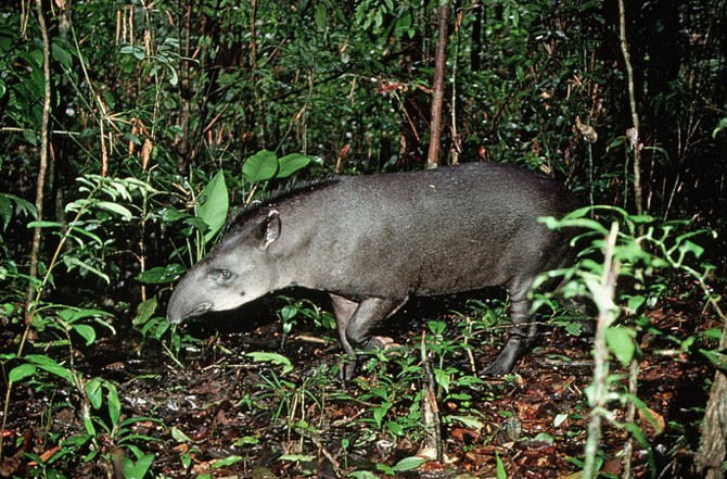 A South American tapir looks for food on the forest floor.