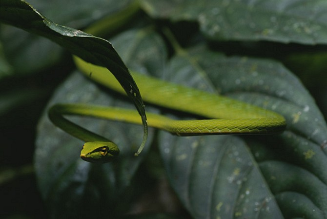 The South American green vinesnake hunts by hanging from branches and waiting for unsuspecting prey to crawl past.