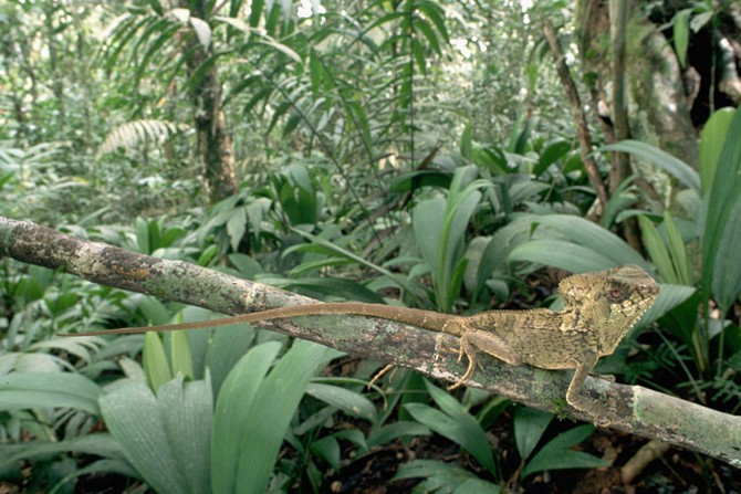 Some chameleon lizards change colors for hunting or protection, which makes them hard to see in the jungle.