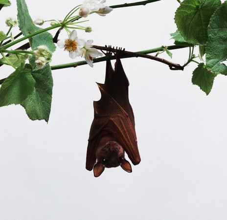 Franquet's fruit bats live high in the rain forest canopy.