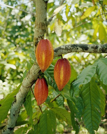 Chocolate is made from the beans of the cacao tree.