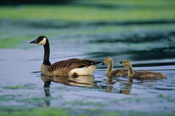 Geese are one of the types of birds that live in wetlands.