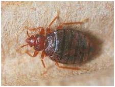Close up of a bedbug.