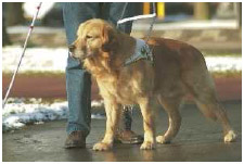 A guide dog wears a special harness when at work but might switch to a regular leash during off-duty hours. It is important that people avoid approaching or playing with guide dogs while the dogs are working.