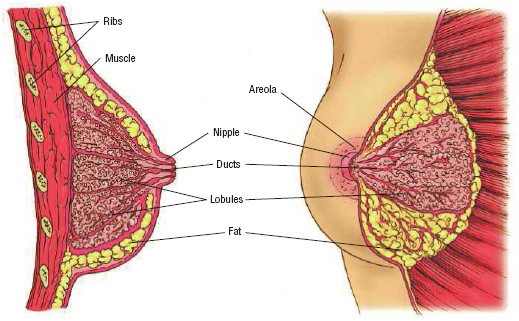 Anatomy of the female breast. Ducts carry milk from the lobules to the nipple. The lobules and ducts are surrounded by fatty tissue and ligaments called stroma.