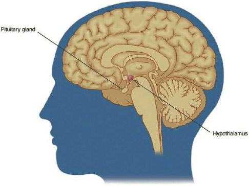 Eating disorders have multiple causes, which may include social and cultural pressures, emotional issues, and family stressors. Chemical imbalances in the brain, shown here in cross-section, may also cause eating disorders.
