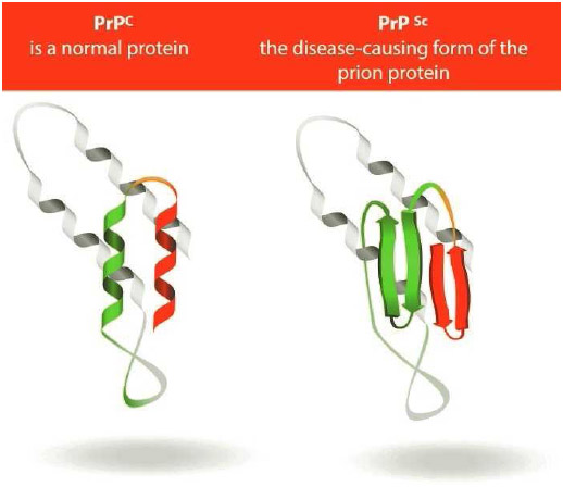 A tiny transmissible protein called a prion triggers Creutzfeldt-Jakob disease. The protease-resistant protein (PrP) is found throughout the body in healthy people and in animals.