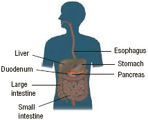 The pancreas is one of the most important organs in the body. It has several functions as part of the endocrine (hormone-producing) system and the digestive system, including the production of insulin.