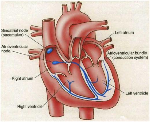 Anatomy of the heart.