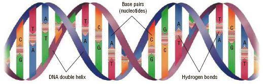 DNA is a double-stranded molecule that is twisted in a spiral shape known as a double helix. DNA is made of chemicals called nucleotides (noo-KLEE-oh-tides) that occur in pairs: adenine (A) with thymine (T), and guanine (G) with cytosine (C).