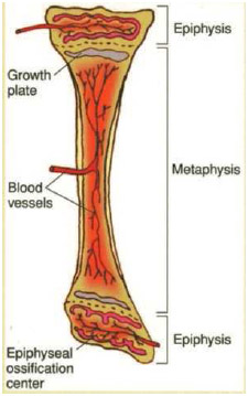 Anatomy of a bone. When all of the cartilage in the growth plate turns to bone, growth stops.