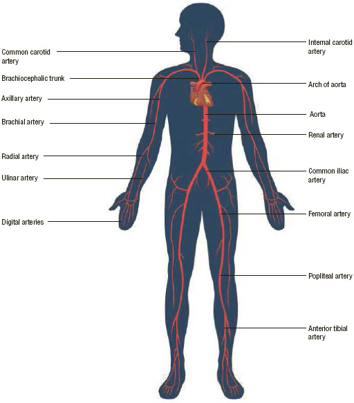 Arteries in the circulatory system.