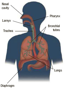 The complex respiratory system consists of several organs, the most important of which are the lungs.