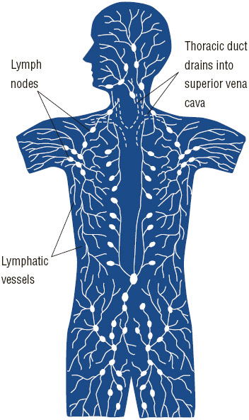 The lymphatic system includes a network of tiny tubes that branch, like blood vessels, into tissues throughout the body. Lymph nodes are located along this network.