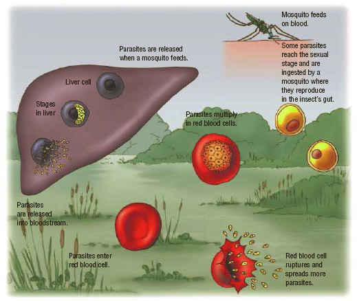 Cycle of malaria infection. Plasmodium parasites can reproduce inside the Anopheles mosquito and be transmitted to people through mosquito bites. In people, the parasites can multiply in the liver and in the red blood cells.