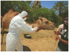 A veterinarian extracts blood samples from a camel's neck to test for MERS (Middle East Respiratory Syndrome) during an investigation into the first reported MERS coronavirus in Haramout,
