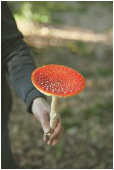 The toxic mushroom Amanita muscaria is also know as Fly agaric.