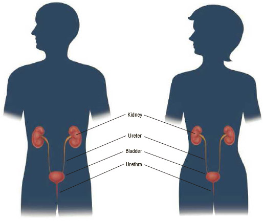 The organs of the urinary tract.