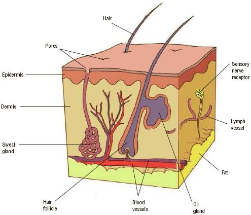 Anatomy of the skin.